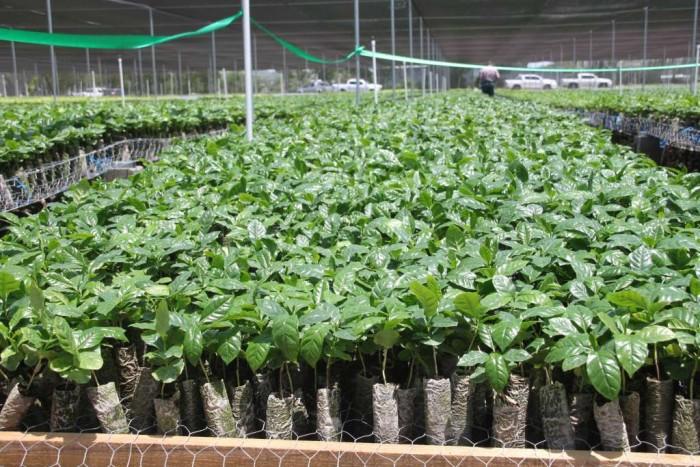 Producir n plantas de caf de alta calidad en s baco la for Vivero de cafe pdf