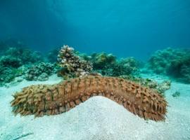 Se conocen aproximadamente unas 1400 especies de pepino de mar. En Nicaragua se encuentran el pepino de mar café, pepino de mar molongo y pepino de mar carajo. LA PRENSA.
