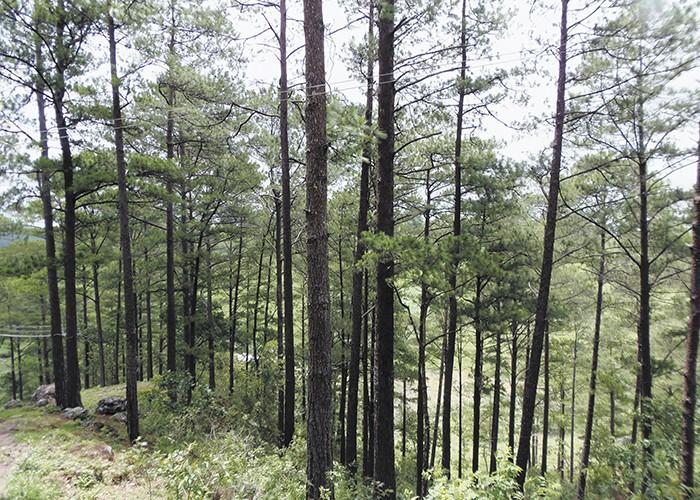 corte de pinos, Nicaragua, bosques de pino en Nicaragua, Daniel Ortega