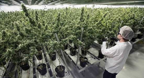 marihuana, medicamento a base de marihuana, marihuana medicinal